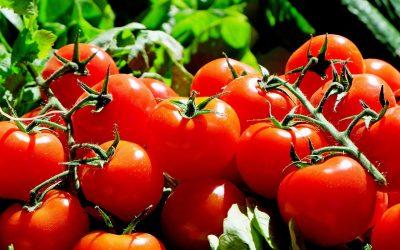 Nabídka rajčat zčeské produkce již na pultech obchodů