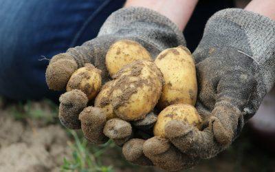 BRAMBORY KUSKLADNĚNÍ – osvědčené akvalitní odrůdy od našich pěstitelů